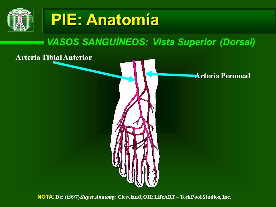 PIE: Anatomía VASOS SANGUÍNEOS: Vista Superior (Dorsal)