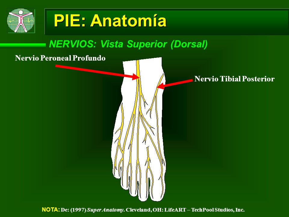 PIE: Anatomía NERVIOS: Vista Superior (Dorsal)