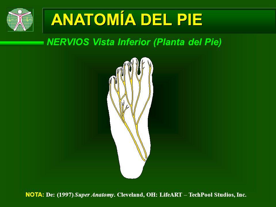 ANATOMÍA DEL PIE NERVIOS Vista Inferior (Planta del Pie)