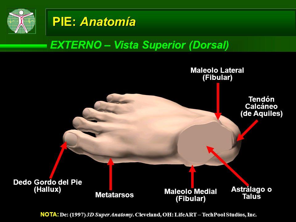 PIE: Anatomía EXTERNO – Vista Superior (Dorsal)