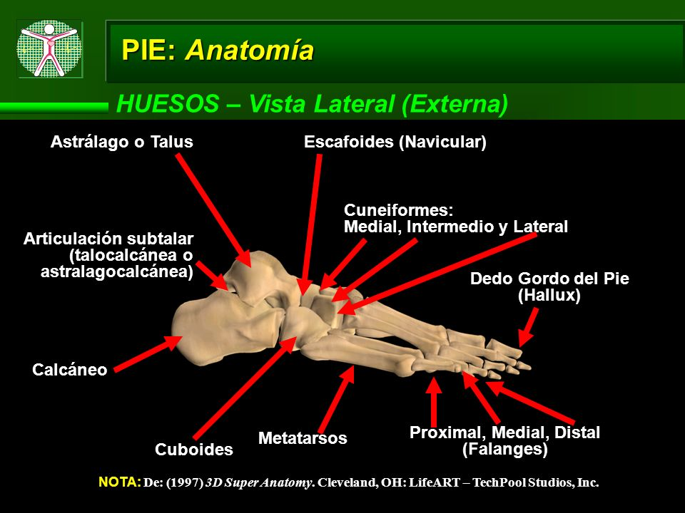 Dedo Gordo del Pie (Hallux) Proximal, Medial, Distal