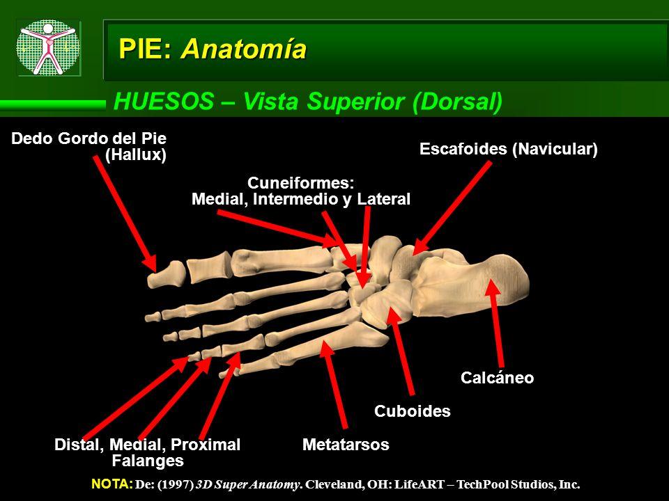 Medial, Intermedio y Lateral Distal, Medial, Proximal