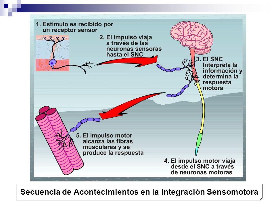 Secuencia de Acontecimientos en la Integración Sensomotora