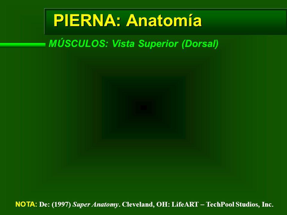 PIERNA: Anatomía MÚSCULOS: Vista Superior (Dorsal)