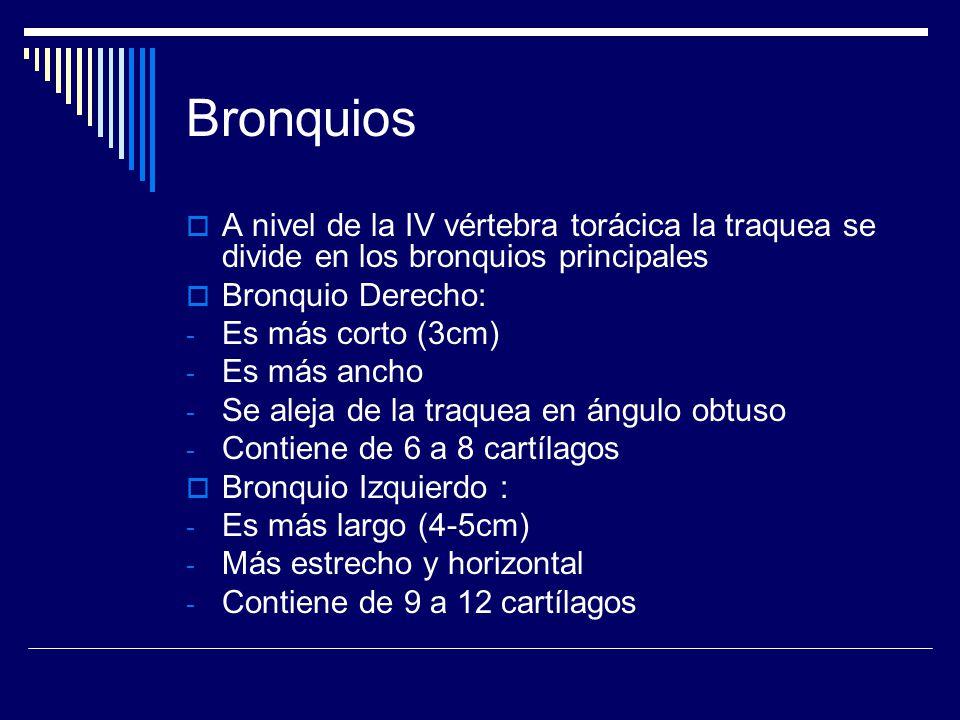 Bronquios A nivel de la IV vértebra torácica la traquea se divide en los bronquios principales. Bronquio Derecho: