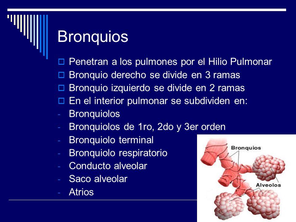 Bronquios Penetran a los pulmones por el Hilio Pulmonar