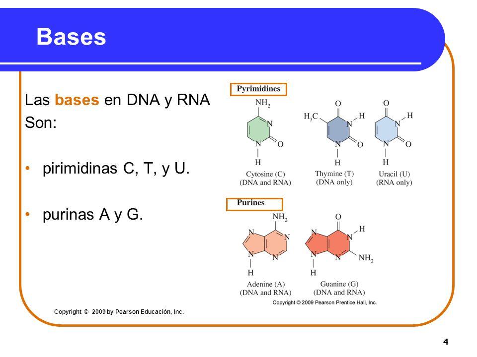 Bases Las bases en DNA y RNA Son: pirimidinas C, T, y U.