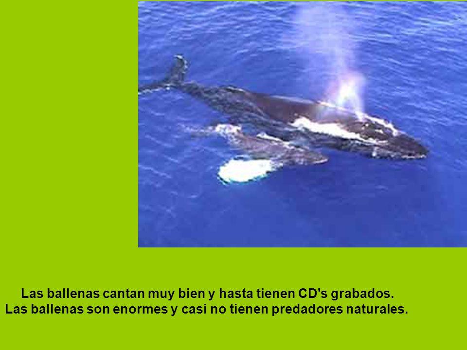 Las ballenas cantan muy bien y hasta tienen CD s grabados