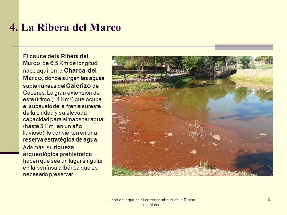 Lirios del agua en el corredor urbano de la Ribera del Marco