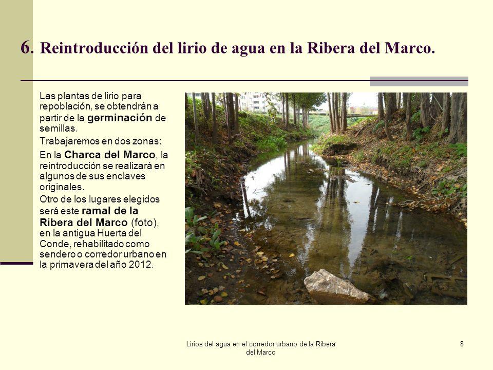 6. Reintroducción del lirio de agua en la Ribera del Marco.