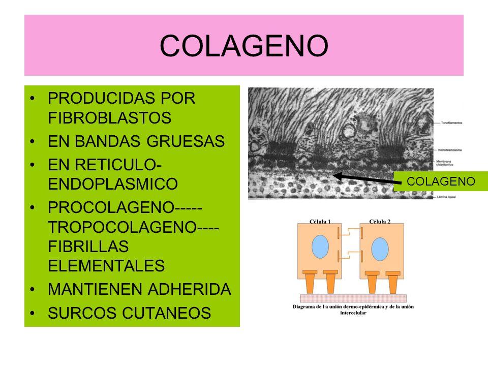 COLAGENO PRODUCIDAS POR FIBROBLASTOS EN BANDAS GRUESAS