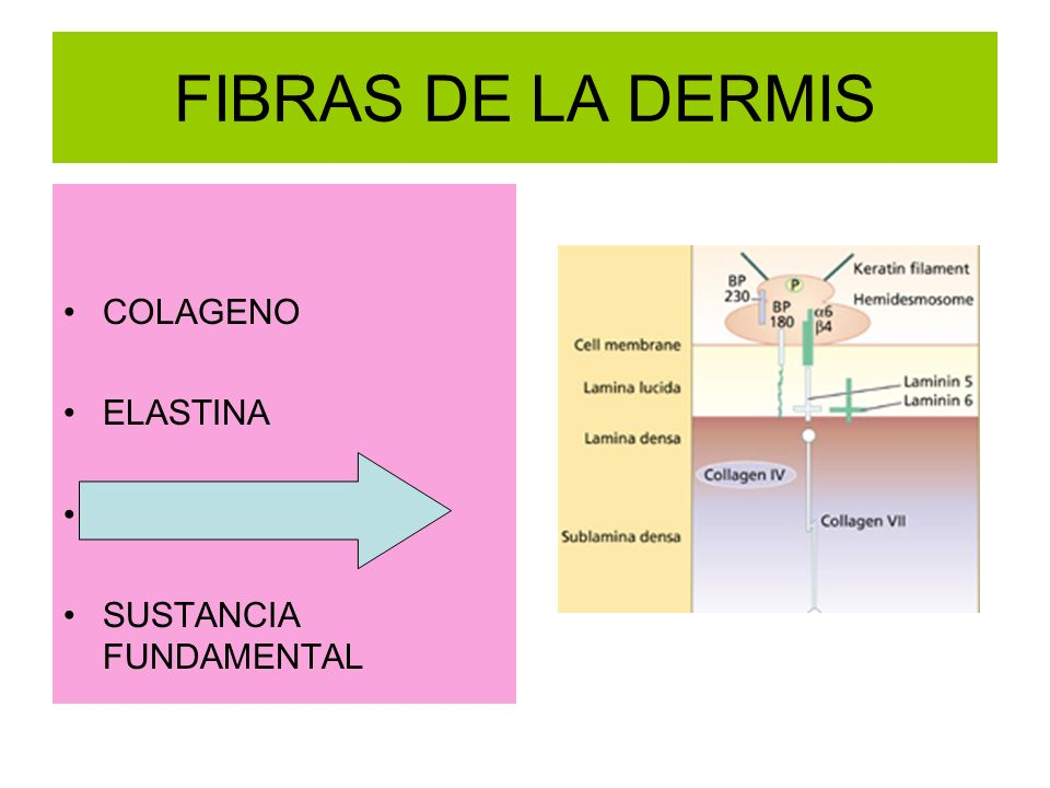 FIBRAS DE LA DERMIS COLAGENO ELASTINA RETICULARES