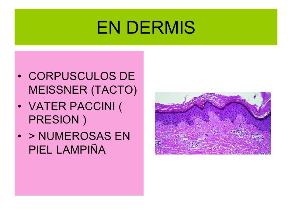EN DERMIS CORPUSCULOS DE MEISSNER (TACTO) VATER PACCINI ( PRESION )