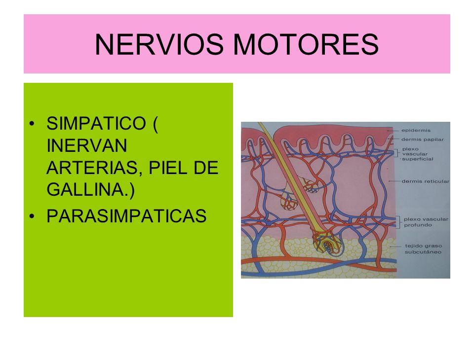 NERVIOS MOTORES SIMPATICO ( INERVAN ARTERIAS, PIEL DE GALLINA.)