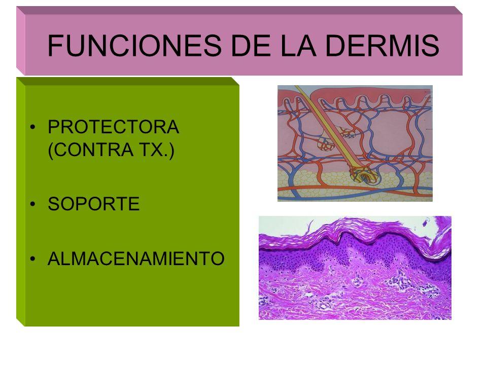 FUNCIONES DE LA DERMIS PROTECTORA (CONTRA TX.) SOPORTE ALMACENAMIENTO