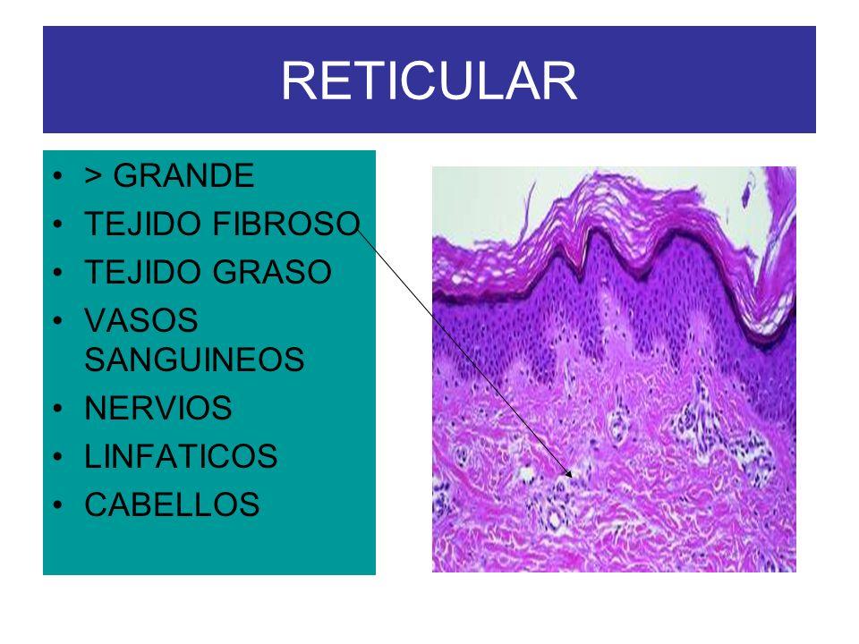 RETICULAR > GRANDE TEJIDO FIBROSO TEJIDO GRASO VASOS SANGUINEOS
