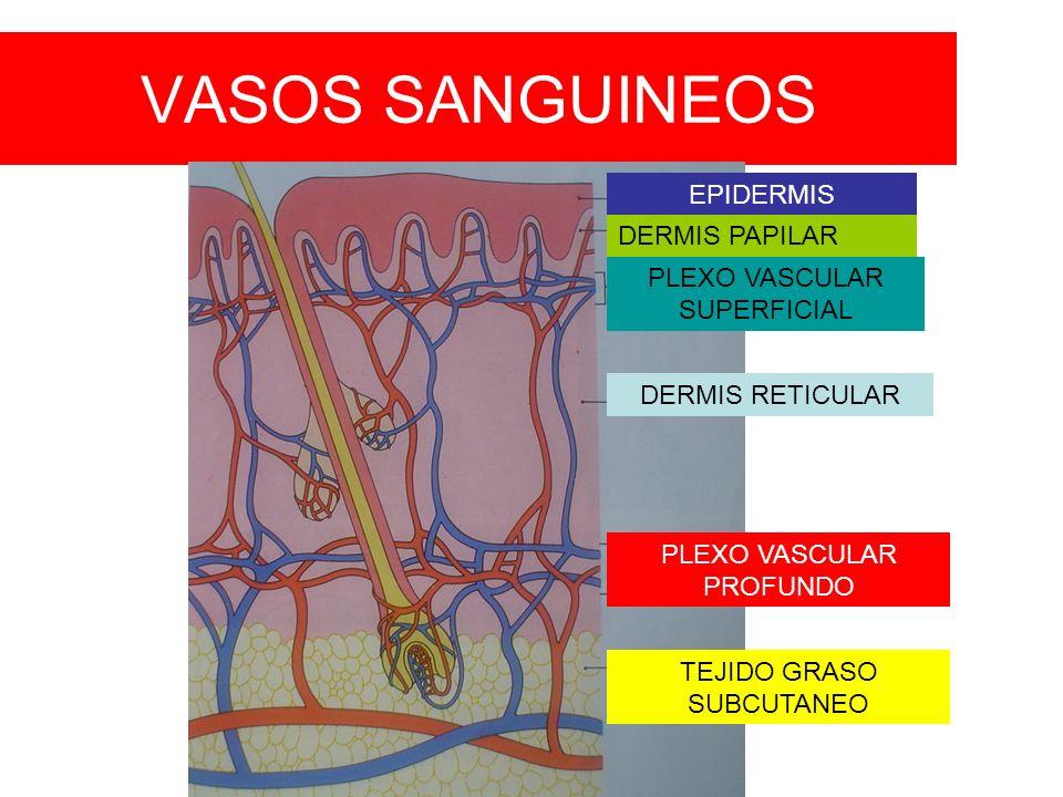 VASOS SANGUINEOS EPIDERMIS DERMIS PAPILAR PLEXO VASCULAR SUPERFICIAL