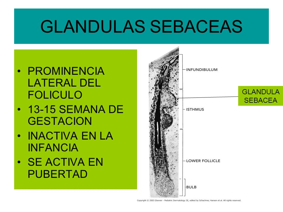 GLANDULAS SEBACEAS PROMINENCIA LATERAL DEL FOLICULO