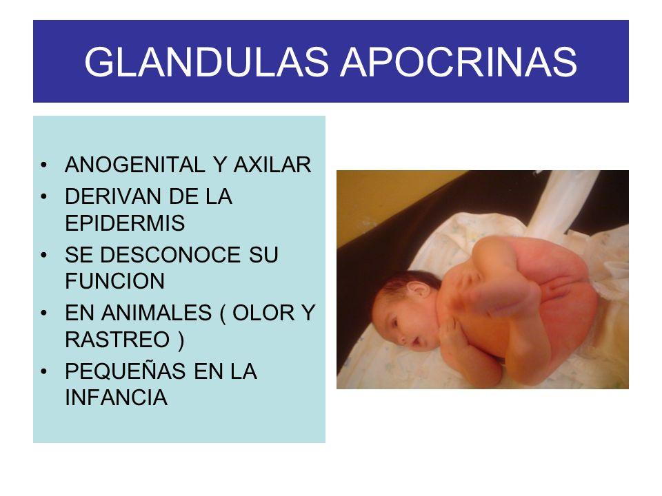 GLANDULAS APOCRINAS ANOGENITAL Y AXILAR DERIVAN DE LA EPIDERMIS