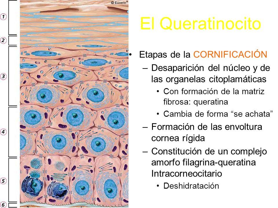 El Queratinocito Etapas de la CORNIFICACIÓN