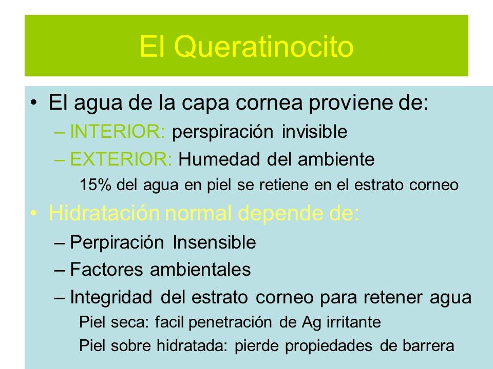 El Queratinocito El agua de la capa cornea proviene de: