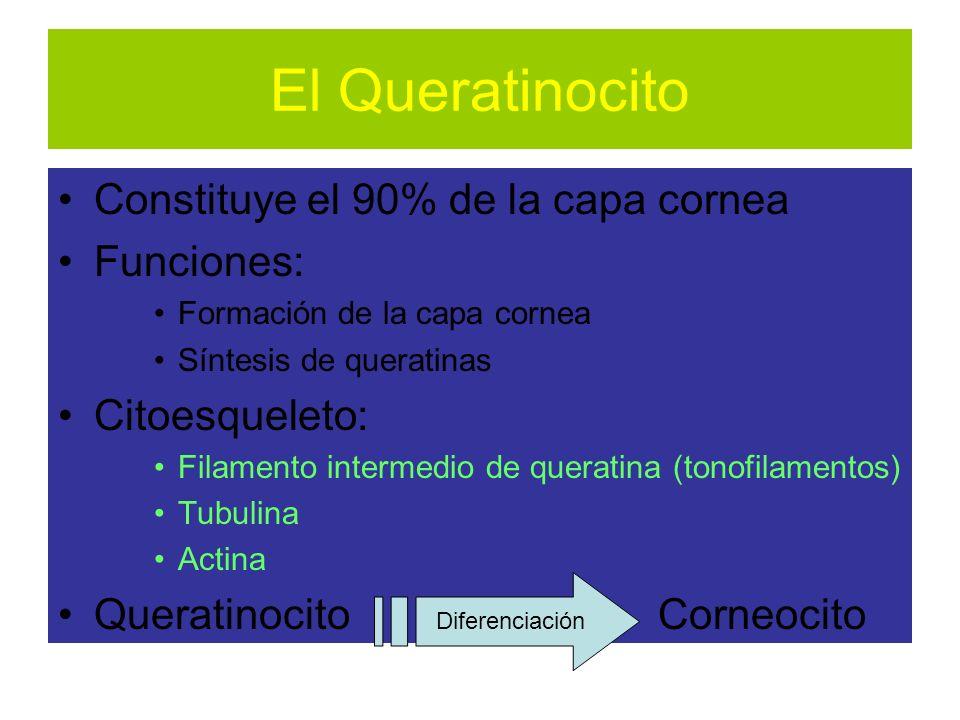 El Queratinocito Constituye el 90% de la capa cornea Funciones: