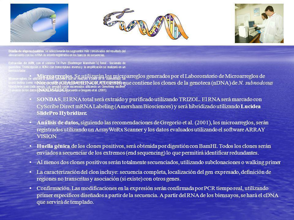 Diseño de oligonucleotidos: se seleccionarán los segmentos más conservados del resultado del alineamiento con los mRNA de interés registrados en los bancos de secuencias.