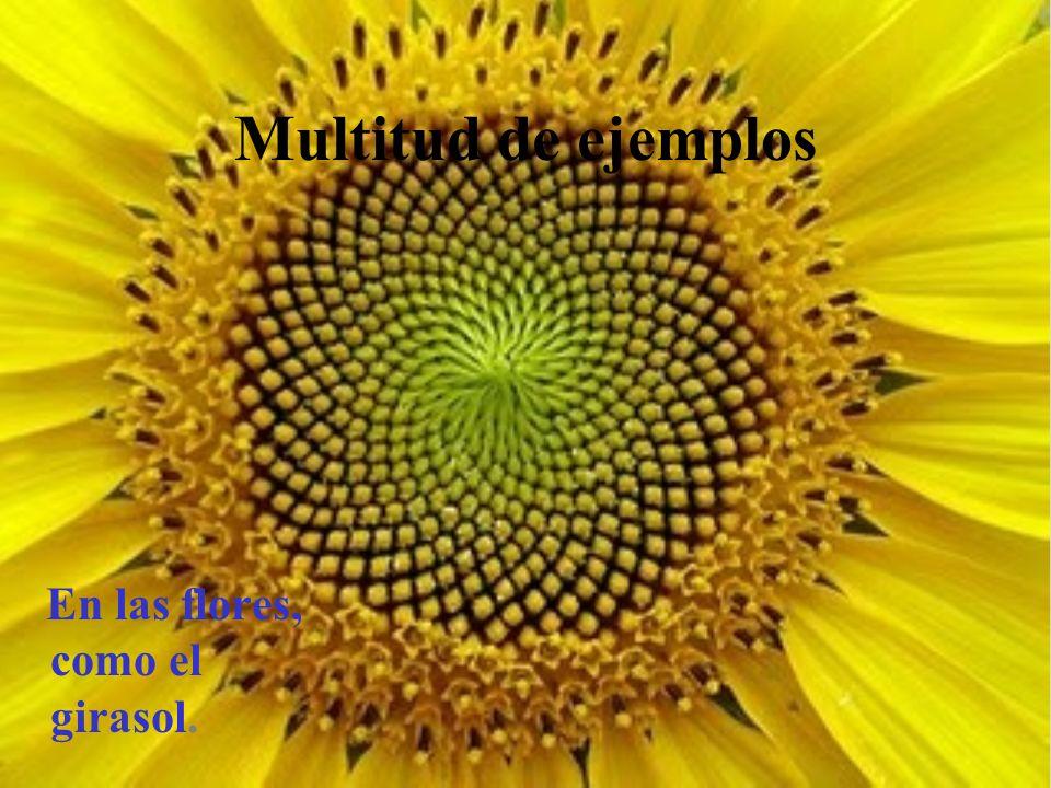 Multitud de ejemplos En las flores, como el girasol.