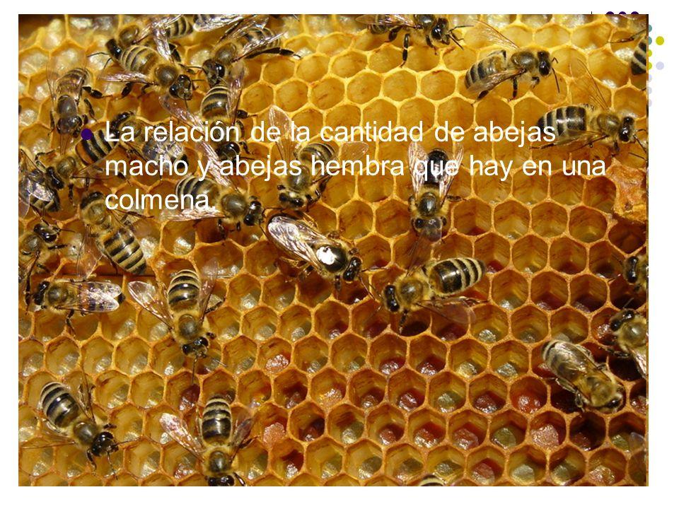 La relación de la cantidad de abejas macho y abejas hembra que hay en una colmena.