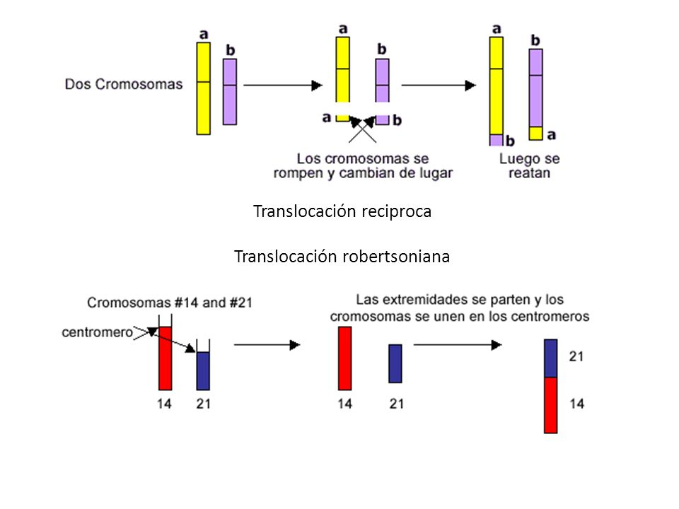 Translocación reciproca Translocación robertsoniana