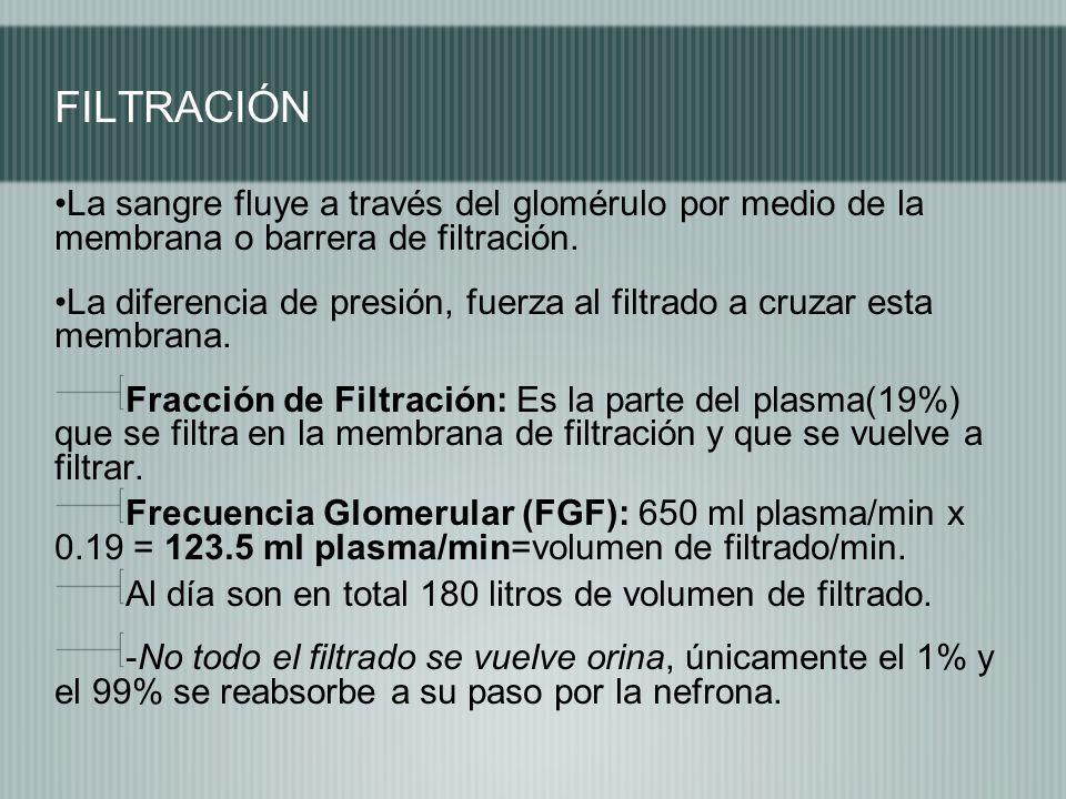 FILTRACIÓN La sangre fluye a través del glomérulo por medio de la membrana o barrera de filtración.