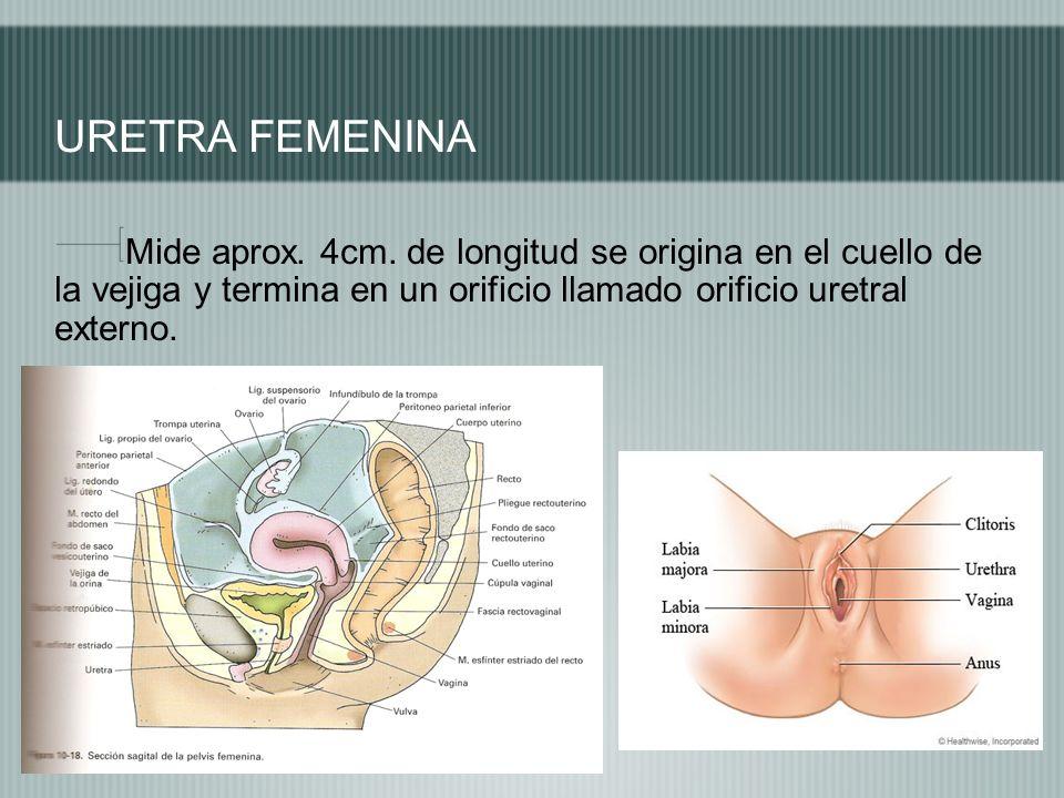URETRA FEMENINA Mide aprox. 4cm.