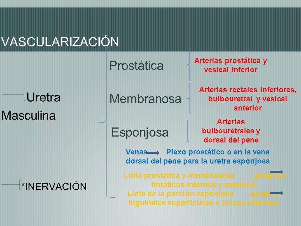 VASCULARIZACIÓN Uretra Prostática Masculina Membranosa Esponjosa