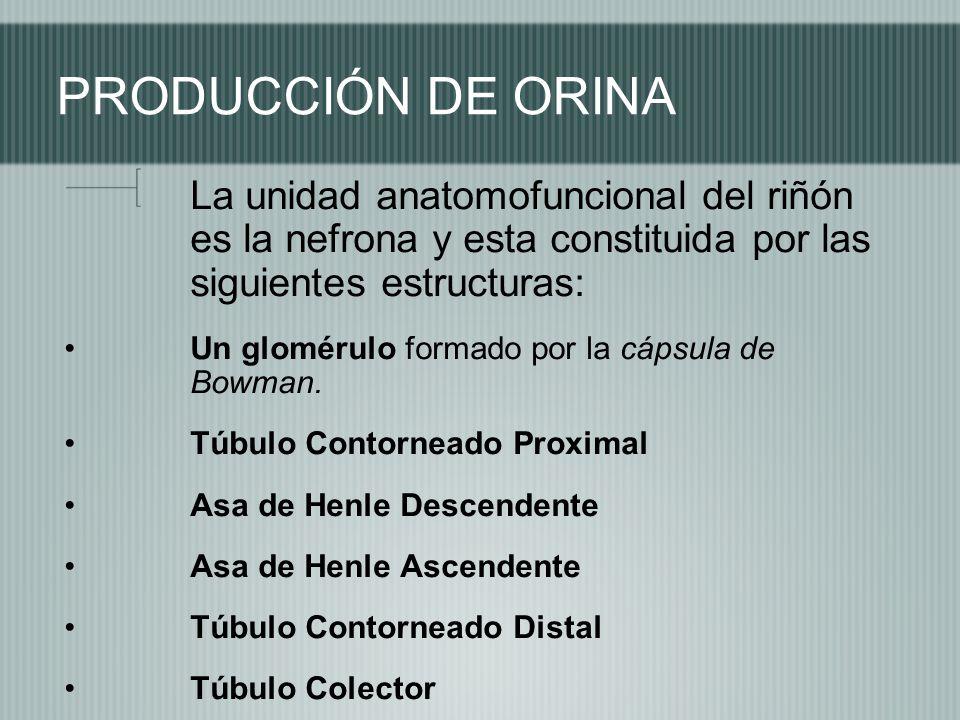 PRODUCCIÓN DE ORINA La unidad anatomofuncional del riñón es la nefrona y esta constituida por las siguientes estructuras: