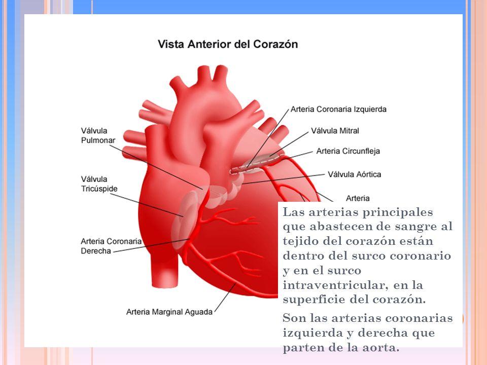 Las arterias principales que abastecen de sangre al tejido del corazón están dentro del surco coronario y en el surco intraventricular, en la superficie del corazón.