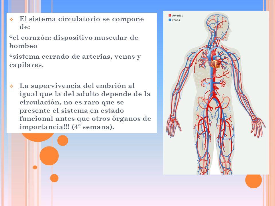 El sistema circulatorio se compone de:
