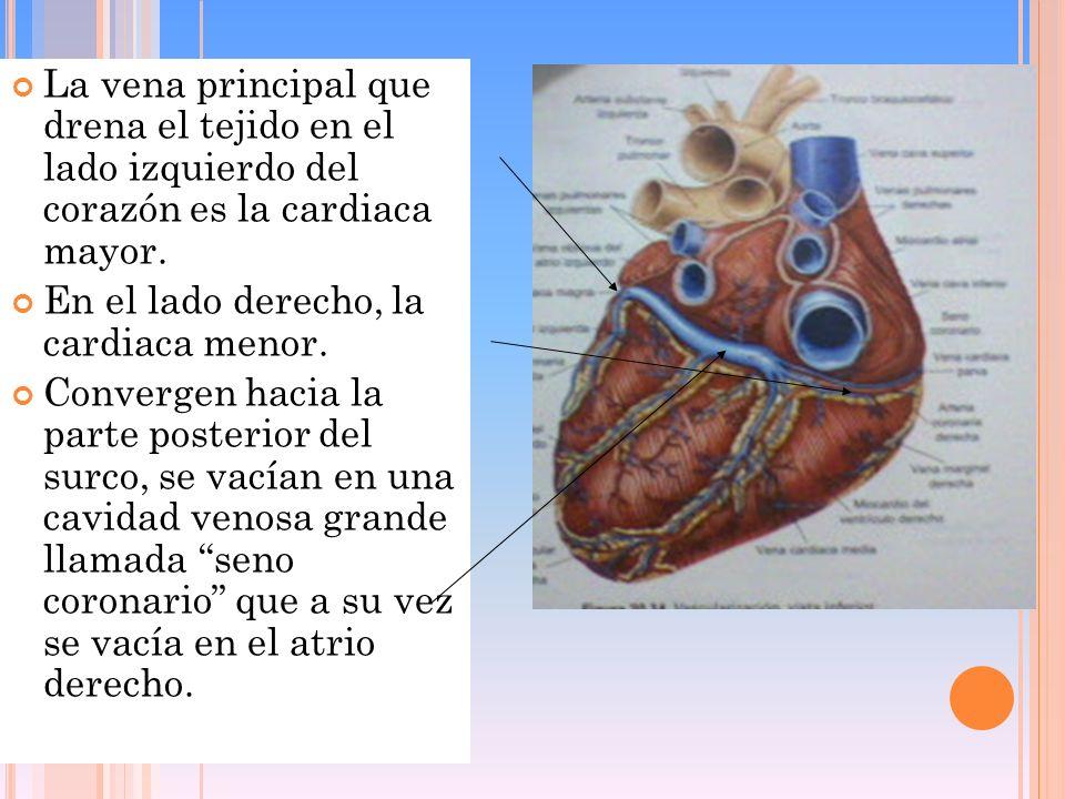 La vena principal que drena el tejido en el lado izquierdo del corazón es la cardiaca mayor.