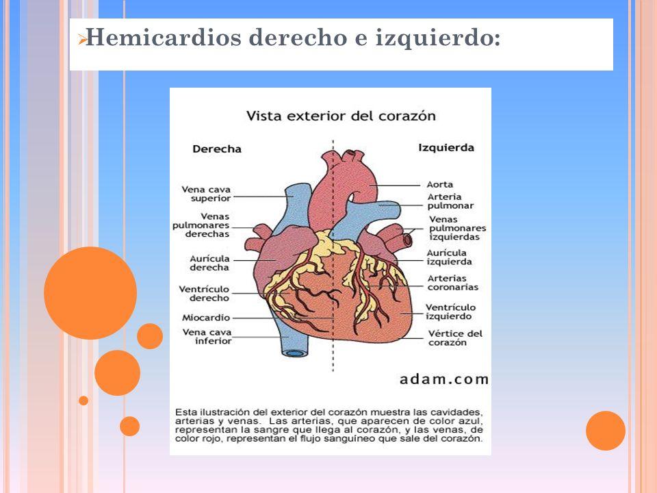 Hemicardios derecho e izquierdo: