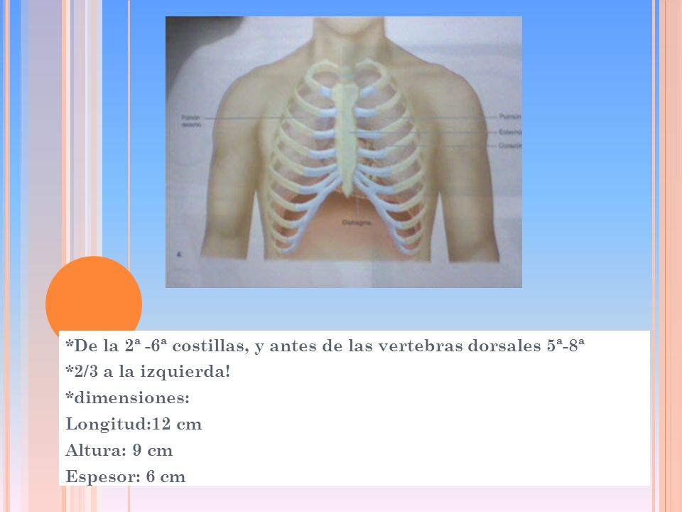 *De la 2ª -6ª costillas, y antes de las vertebras dorsales 5ª-8ª