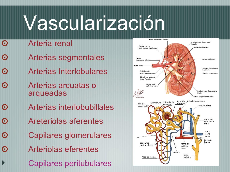 Vascularización Arteria renal Arterias segmentales