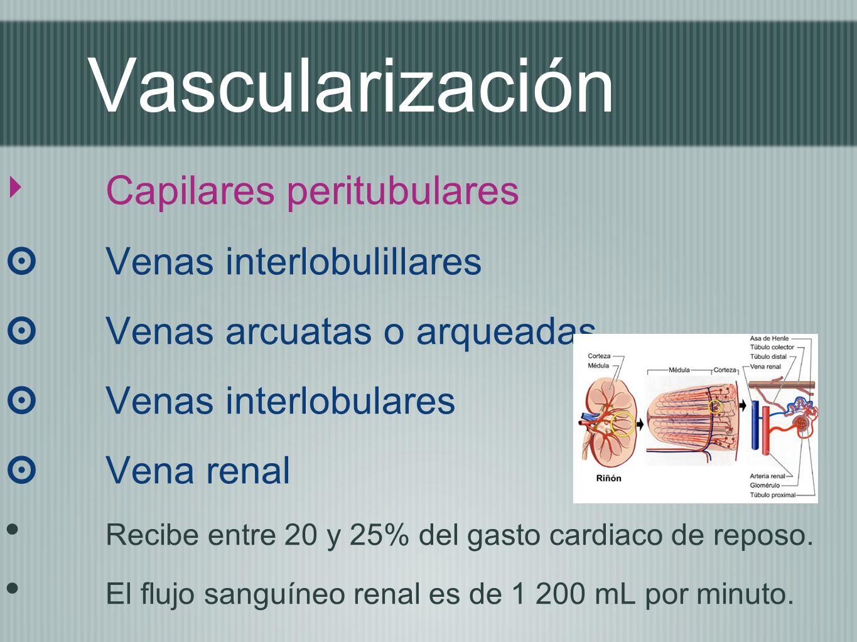 Vascularización Capilares peritubulares Venas interlobulillares