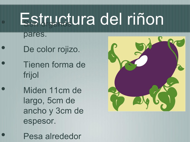 Estructura del riñon Son órganos pares. De color rojizo.