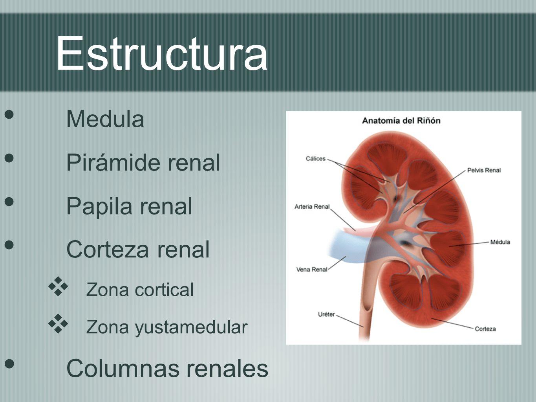 Estructura Columnas renales Medula Pirámide renal Papila renal