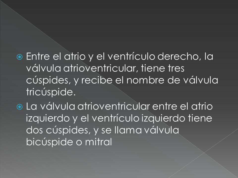 Entre el atrio y el ventrículo derecho, la válvula atrioventricular, tiene tres cúspides, y recibe el nombre de válvula tricúspide.