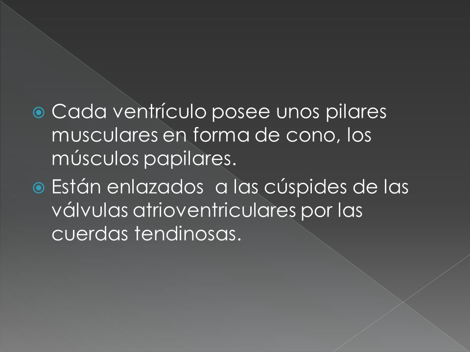 Cada ventrículo posee unos pilares musculares en forma de cono, los músculos papilares.