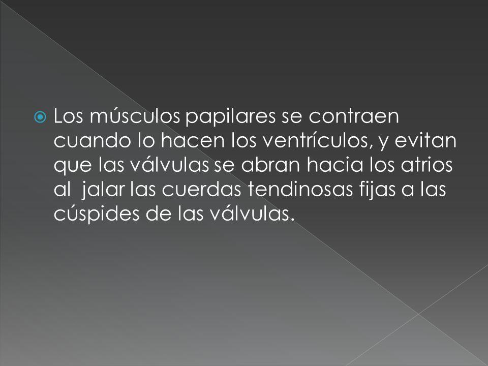 Los músculos papilares se contraen cuando lo hacen los ventrículos, y evitan que las válvulas se abran hacia los atrios al jalar las cuerdas tendinosas fijas a las cúspides de las válvulas.