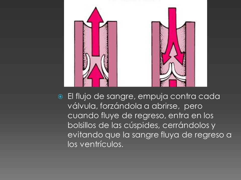 El flujo de sangre, empuja contra cada válvula, forzándola a abrirse, pero cuando fluye de regreso, entra en los bolsillos de las cúspides, cerrándolos y evitando que la sangre fluya de regreso a los ventrículos.