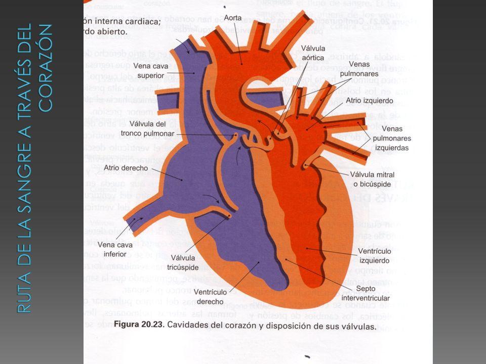 Ruta de la sangre a través del corazón
