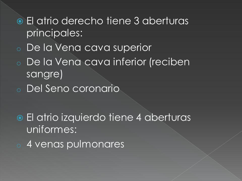 El atrio derecho tiene 3 aberturas principales: