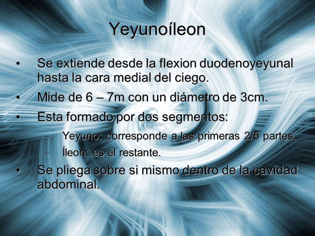 Yeyunoíleon Se extiende desde la flexion duodenoyeyunal hasta la cara medial del ciego. Mide de 6 – 7m con un diámetro de 3cm.